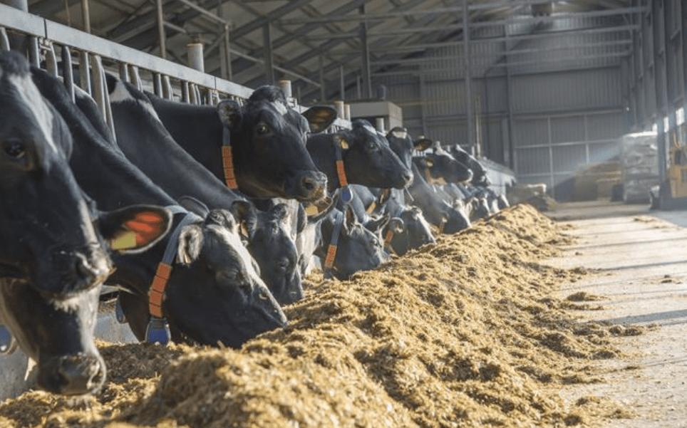dierenvoeding koe